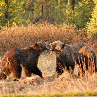 Dans les griffes des grizzly